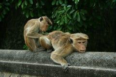 Delouse обезьяны стоковые изображения rf