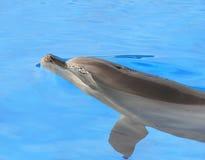 Delphinschwimmen im Pool Stockbild