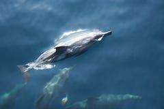 Delphin Lizenzfreie Stockfotografie
