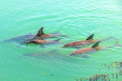 Delphin-Affe Mia Stockfoto