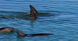 Delphin-Affe Mia stock video footage