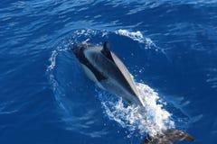 Delphin in Atlantik lizenzfreie stockfotos
