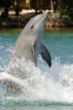 Delphin, der auf Heck steht Lizenzfreie Stockfotografie