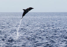 Delphin, der aus Wasser heraus springt Lizenzfreie Stockfotografie