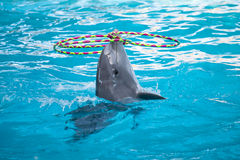 Delphin, der mit den Ringen spielt Stockfotografie