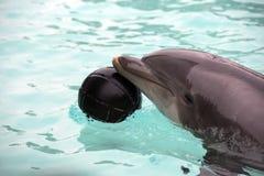 Delphin, der mit einem Ball spielt Stockbild