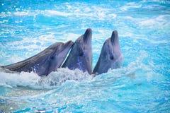 Delphin drei im Pool Stockbilder