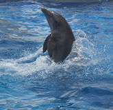 Delphin im blauen Wasser Lizenzfreie Stockfotografie