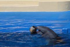 Delphin mit Ball im Mund Stockbilder