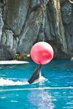 Delphin mit einer Kugel Stockfotografie