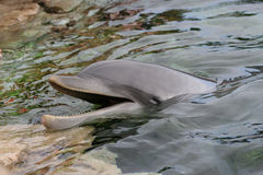 Delphin-Nahaufnahme 2 Stockfotos