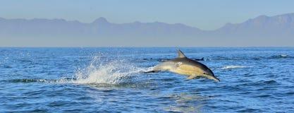 Delphin, schwimmend im Ozean Delphinschwimmen und Springen vom Wasser Der langschnabelige wissenschaftliche Name des gemeinen Del lizenzfreie stockfotografie