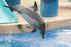 Delphin springen Lizenzfreie Stockfotografie