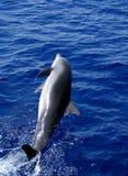 Delphin springen Stockfotografie