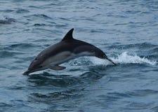 Delphin-Sprung Lizenzfreies Stockfoto