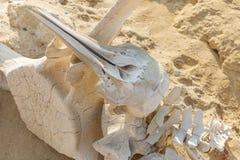 Delphin- und Walknochen auf dem Wüstenstrand von Namibe angola Lizenzfreies Stockbild