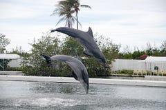Delphin während des Zeigunges in Miami Stockbilder