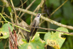 Delphinae de Colibri de colibri de Violet-oreille de Brown Photos libres de droits