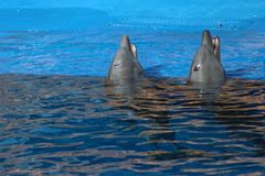 Delphinauftauchen Stockfoto