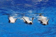 Delphine, die auf ihren Rückseiten schwimmen lizenzfreies stockfoto