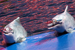 Delphine, die Brillen tragen stockfoto