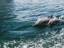 Delphine, die in den Meereswellen schwimmen Oman-Fjorde stockfotos