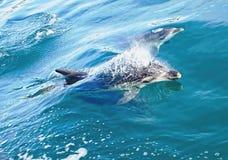 Delphine, die im Meer schwimmen Lizenzfreies Stockfoto