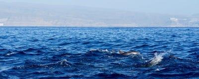 Delphine, die im Ozean spielen Stockbild