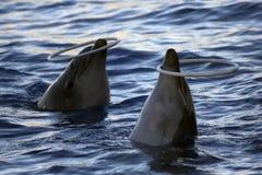 Delphine, die mit einem Ring spielen stockbilder