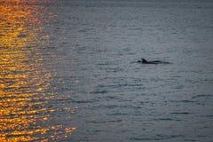 Delphine, die vorbei bei Sonnenaufgang schwimmen Lizenzfreie Stockfotos