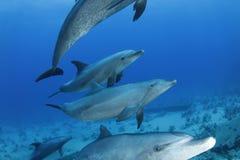 Delphine, die vorbei in das Rote Meer, Ägypten überschreiten Lizenzfreie Stockbilder