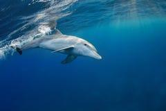 Delphine, die vorbei in das Rote Meer, Ägypten überschreiten Stockbild