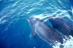 Delphine - Galapagos-Inseln Stockbild