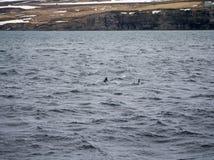 Delphine in Husavik Island Stockfotografie