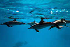 Delphine im Meer Lizenzfreie Stockfotografie