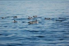 Delphine im Schacht von Gibraltar Lizenzfreies Stockbild