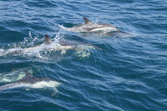 Delphine im wilden Lizenzfreie Stockbilder