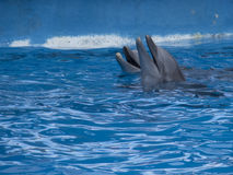 Delphine in Miami Seaquarium Lizenzfreie Stockfotos