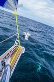 Delphine nähern sich Segeljacht Lizenzfreie Stockfotografie