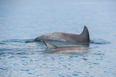 Delphine nahe dem Ufer kontaktieren Menschen Lizenzfreie Stockfotos