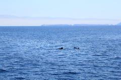 Delphine nahe Ventura-Küste, Kalifornien Lizenzfreies Stockfoto