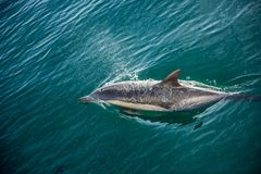 Delphine, schwimmend im Ozean und jagen für Fische Die springenden Delphine kommt vom Wasser auf Das langschnabelige Sc des gemei Lizenzfreies Stockbild