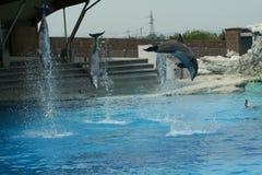 Delphine springen Lizenzfreie Stockbilder