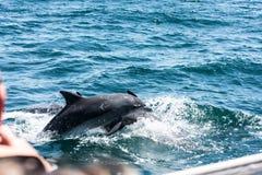 Delphinfamilie, die im Wasser spielt Lizenzfreies Stockfoto