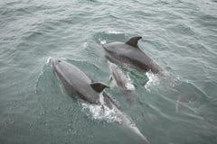 Delphinfamilienschwimmen mit Babydelphin Stockbilder