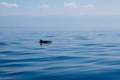 Delphinflosse um blaues ruhiges Mittelmeer Stockfotografie