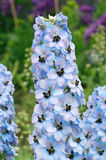 Delphinium. Plant which is often known as larkspur in full flower stock photos