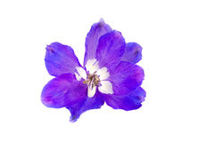 Delphinium. Blue blossom of delphinium plant royalty free stock photography