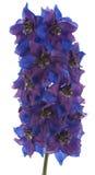 Delphinium Royalty Free Stock Image