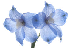 Delphinium. Studio Shot of Blue Colored Delphinium Isolated on White Background. Large Depth of Field (DOF). Macro royalty free stock photography